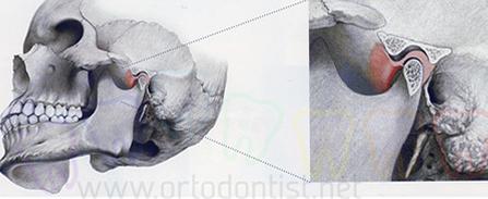 Ortodonti anatomi